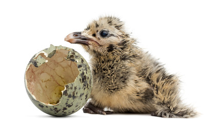 New-born Gull or Seagull with hatched egg, 6 hours, isolated on