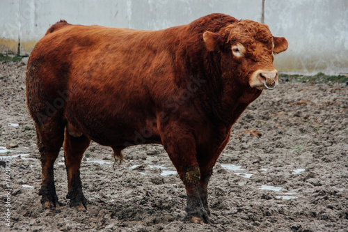 Bull With Nose Ring Stock Photo And Royalty Free Images On Fotolia