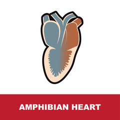 amphibian schematic heart anatomy vector illustration