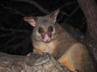 Curious Possum