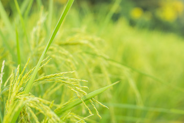 rice in paddy