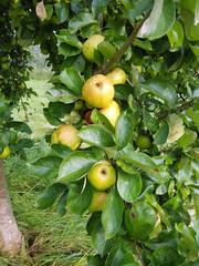 Jacob Label, Apfel, Malus, domestica, Alte Apfelsorten