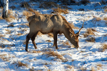 Wild animals of Kazakhstan. Deer Deer are the ruminant mammals forming the family Cervidae.