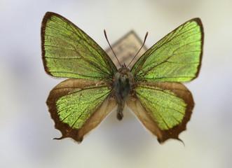 The Wonderful Green Hairstreak (Thermozephyrus ataxus) male isolated