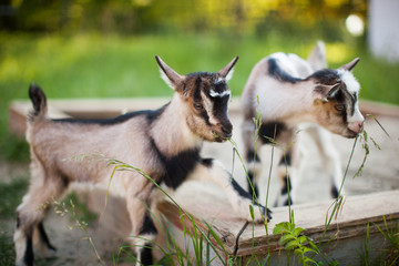 A beautiful photo of two little goats playing and eating grass
