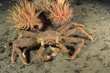 Snow crab of the St-Lawrence Estuary