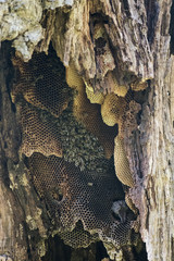wild bee colony inside an old tree