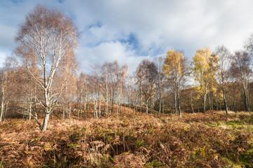 Betula pendula / A landscape image of autumnal Silver Birch, Betula pendula, trees, Highlands, Scotland, UK, October 2017