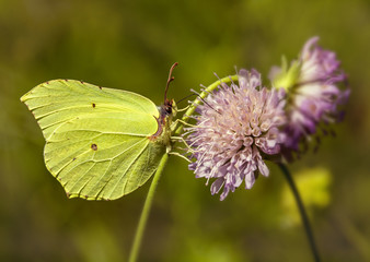 Krushinnitsa.The bright yellow butterfly sits on a flower and collects nectar.