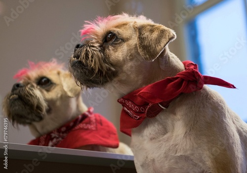 A Pug Cross Jack Russell Terrier Dog With Dyed Pink Hair Looking