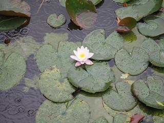 Wasserlilie im Regen