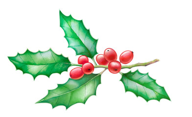 Watercolor hand drawn illustration of holly tree branch with berries isolated on white background.