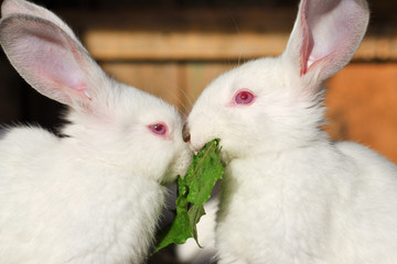 Two white rabbits eat green juicy grass in a cage.