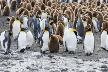 king penguins with chiks  on South Georgia island