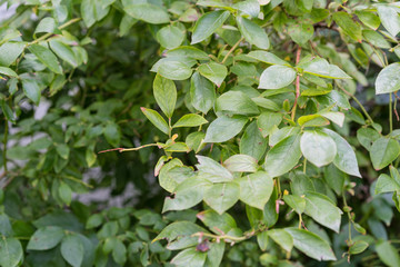 leaf from blueberry plant vaccinium corymbosum from north america usa