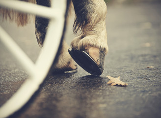 Hind hoofs with horseshoes of a harnessed horse, behind a wheel of the carriage.