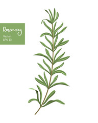 Rosemary vector illustration. Isolated herb plant on white.