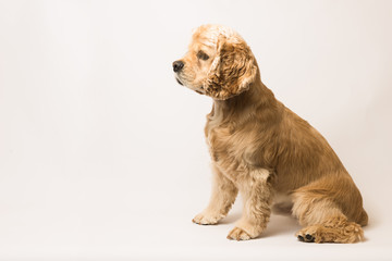 American cocker spaniel on white background. The dog sits, side view