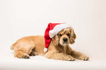 American cocker spaniel with Santa's cap lyingon on white background. Side view. Look at the camera.