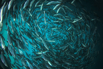 Tuna fish underwater in ocean