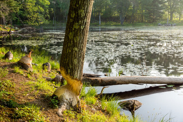 Beavers Been Busy: early morning at the lake