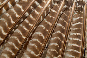 Wild eastern turkey feathers close up background texture