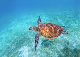 Sea turtle closeup in sea water. Olive green sea turtle closeup. Wildlife of tropical coral reef.