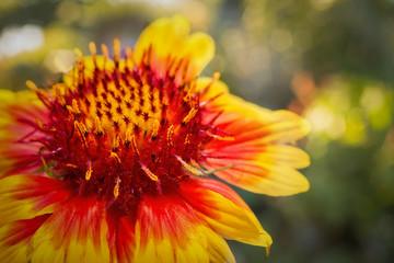 Blanket Flower Macro