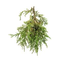 cedar branch on white