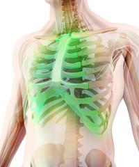 3D illustration of Sternum, medical concept.