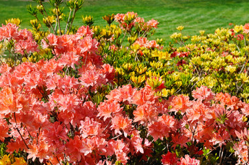 Bushes blooming rhododendron and green lawn