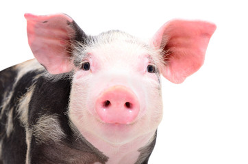 Portrait of attractive little piggy, closeup, isolated on a white background