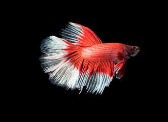 Beautiful red with white siamese fighting fish, betta splendens