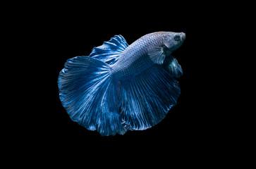blue siamese fighting fish, betta splendens isolated