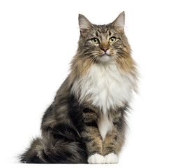 Wall Mural - Front view of a Norwegian Forest cat sitting, looking at the camera, isolated on white