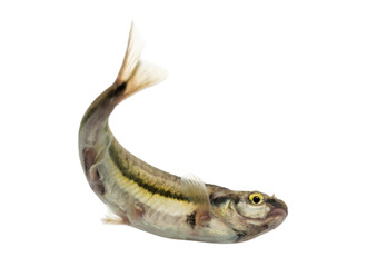 Eurasian minnow swimming, viewed from below, Phoxinus phoxinus,