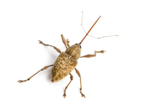 View from up high of a Acorn weevil, Curculio glandium, isolated