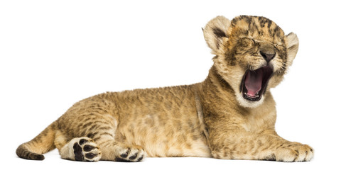 Lion cub lying down, roaring, 4 weeks old, isolated on white