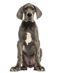 Great Dane sitting, facing, isolated on white