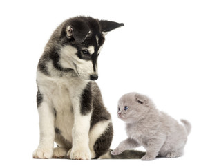 Husky malamute puppy sitting and looking at a kitten