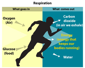 Cellular respiration is an aerobic process