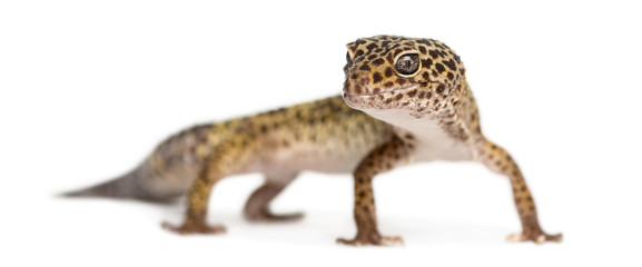 Leopard gecko standing, looking at the camera, Eublepharis macul