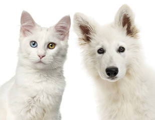Close-up of a Swiss Shepherd Dog and Main coon looking at the ca