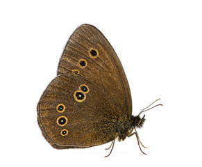 Ringlet, Aphantopus hyperantus in front of a white background