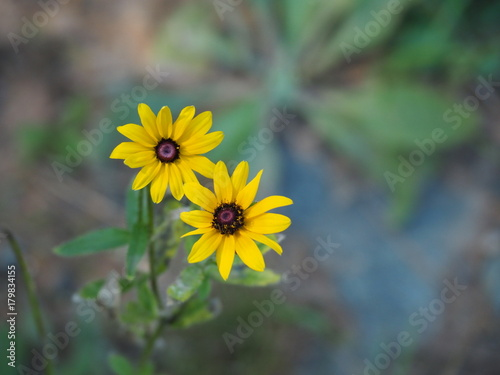 Yellow flowers among tall grass black eyed susans stock photo and yellow flowers among tall grass black eyed susans mightylinksfo