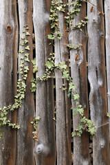 Efeuranken an einer Bretterwand