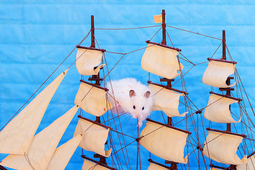white hamster on a blue background