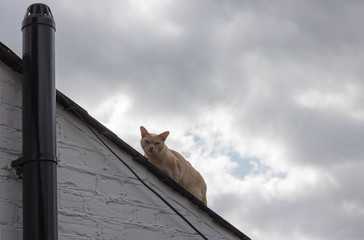 A pale yellow weird cat with green almond-shaped eyes is on a roof of house against a cloudy sky in gloaming time. He is watching at you. Clouds thicken over it. It`s a little odd & spooky.