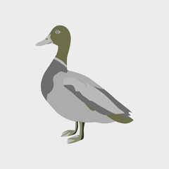 Vector illustration in flat style of wild duck
