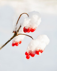 red berries rowanberry on a branch under snow in winter